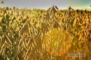 Colheita de soja © Jefferson Bernardes 08APR10